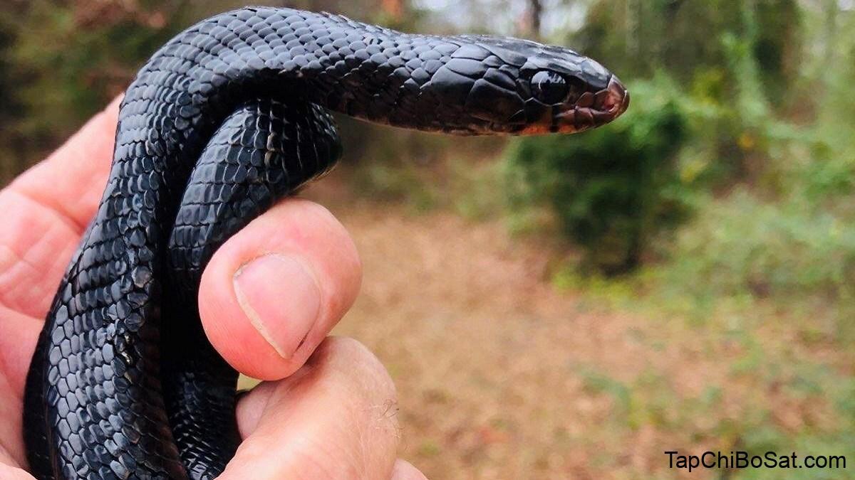 First wild eastern indigo snake found in Alabama in 60 years ...