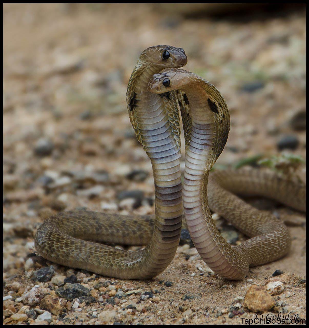 Indian cobra (Naja naja) | Snake, Reptiles, Animals