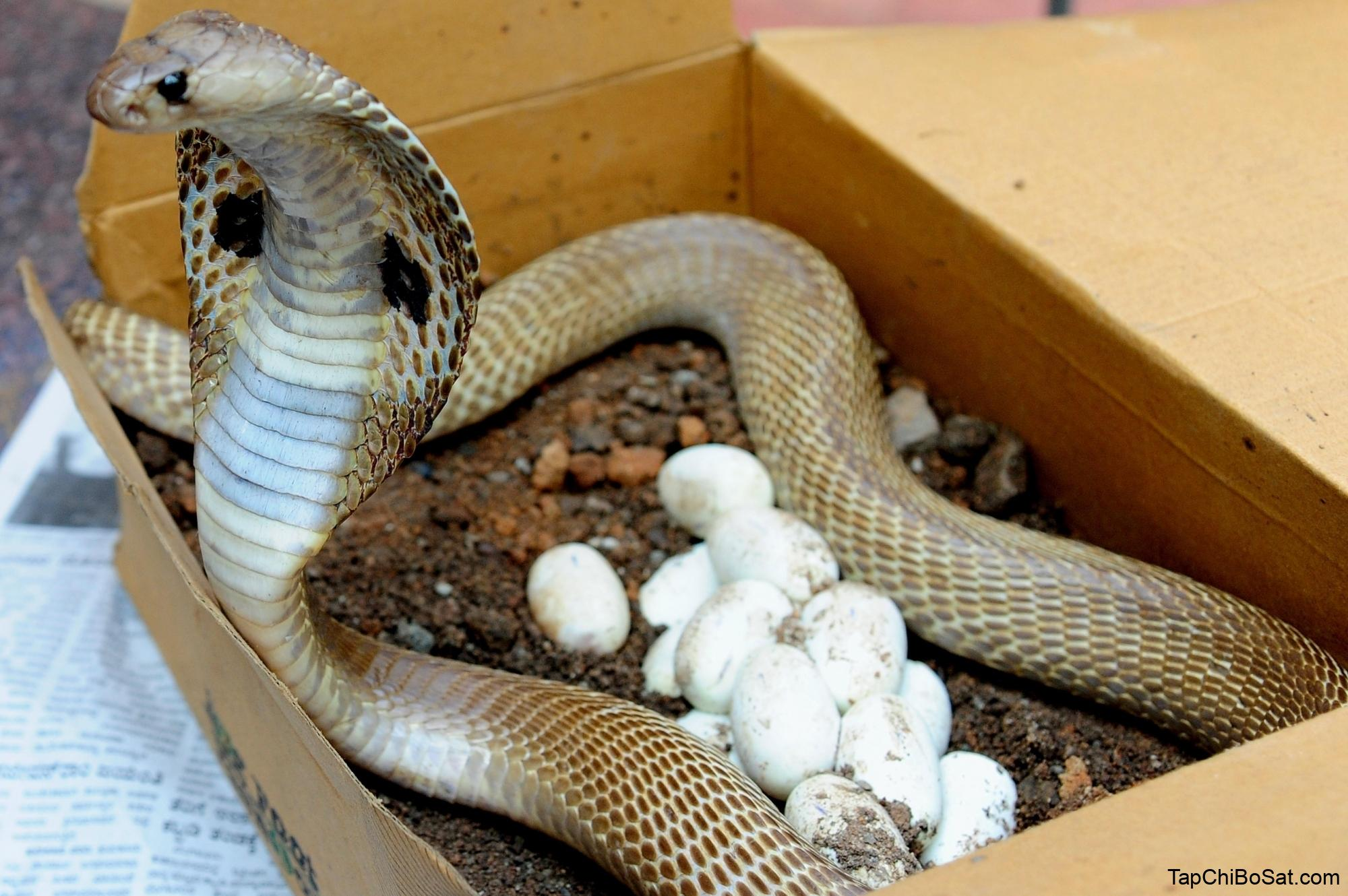 In a first, Indian cobra venom genes decoded - Weekly Voice