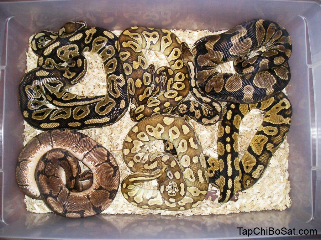 Some of my Ball Python Collection