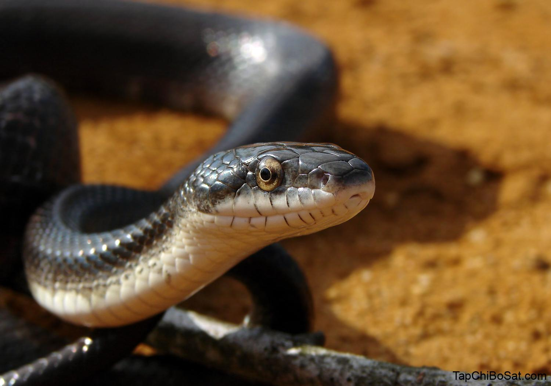 Black rat snake - Encyclopedia of Life