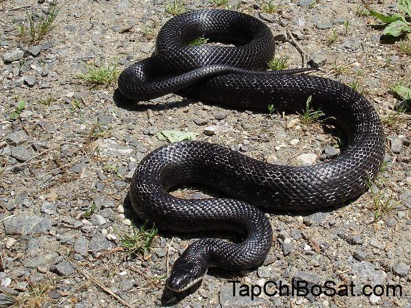 Black_Rat_Snake non venomous this snake can reach 6 to 7 feet ...
