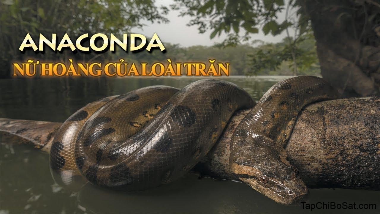 Anaconda - Nữ hoàng của loài trăn - YouTube