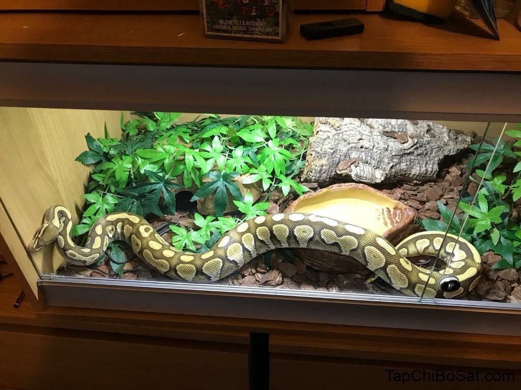 How Big of a Tank Does a Ball Python Need? - John Blake