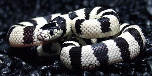 Reptile Blog: California Kingsnake