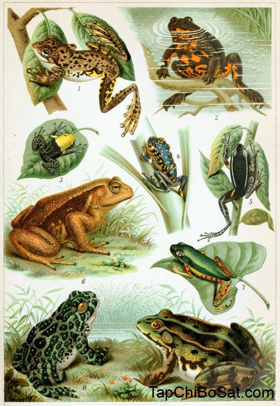 các loại ếch nuôi