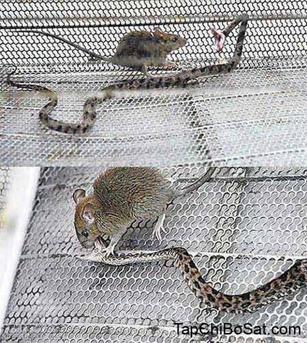 Thức ăn hoang dã có thể mang ký sinh trùng cho rắn