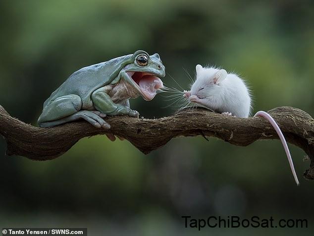 chuột là thức ăn chỉ dành cho ếch lớn