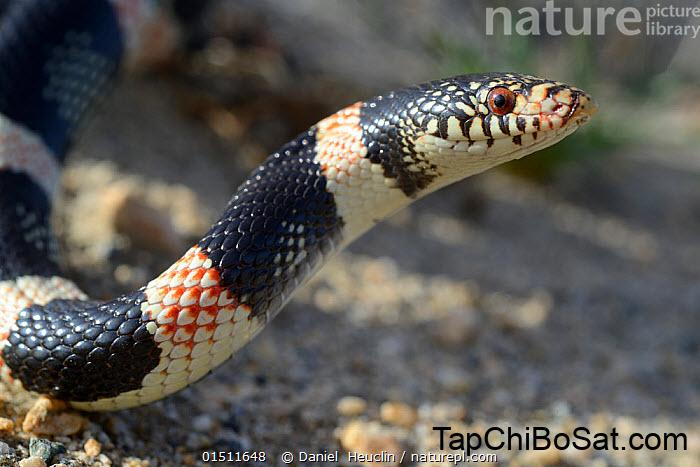 Nature Picture Library Long-nosed snake (Rhinocheilus lecontei ...