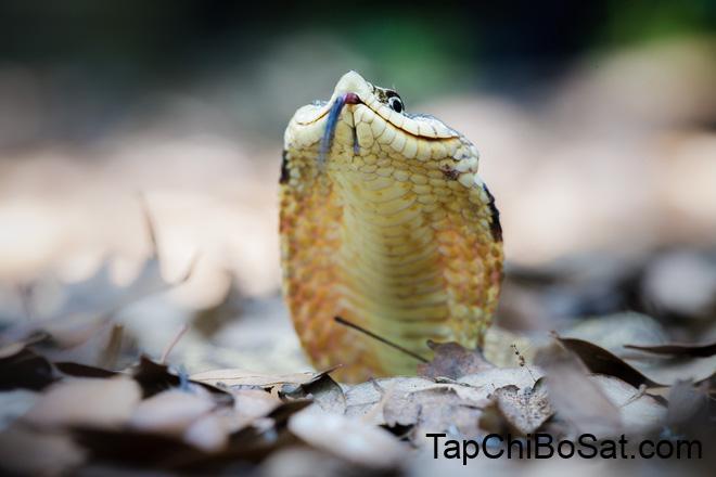 Màn giả chết xảo quyệt của loài rắn có họ với hổ mang chúa - Ảnh 3.