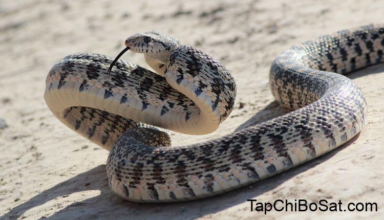 Gopher Snake Complete Care Sheet - SnakeTracks.com