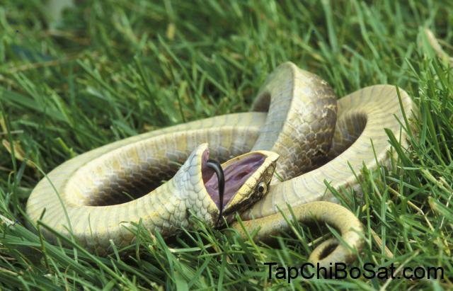 Màn giả chết xảo quyệt của loài rắn có họ với hổ mang chúa - Ảnh 5.