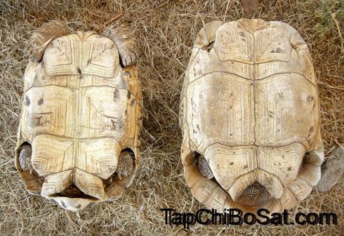 Photo of Rùa báo – Leopard Tortoise