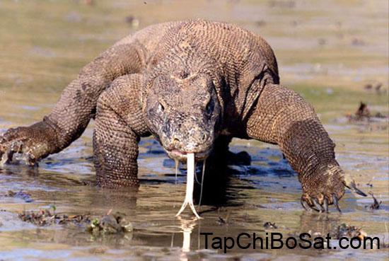 Photo of RỒNG KOMODO – Tìm hiểu về loài thằn lằn lớn nhất thế giới.