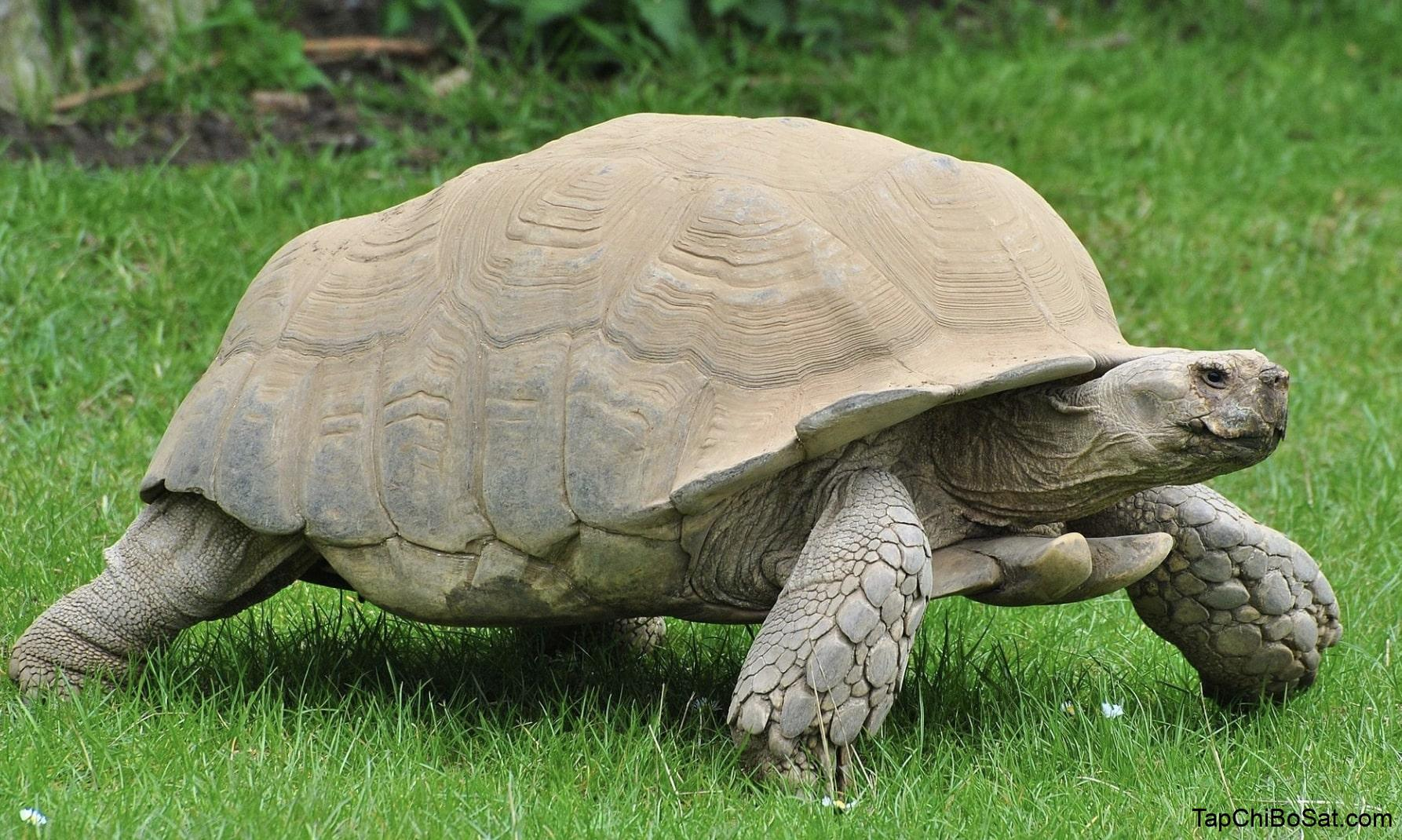 Photo of Rùa Châu Phi – African Spurred Tortoise