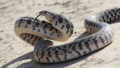 Photo of Rắn trâu – Gopher Snake