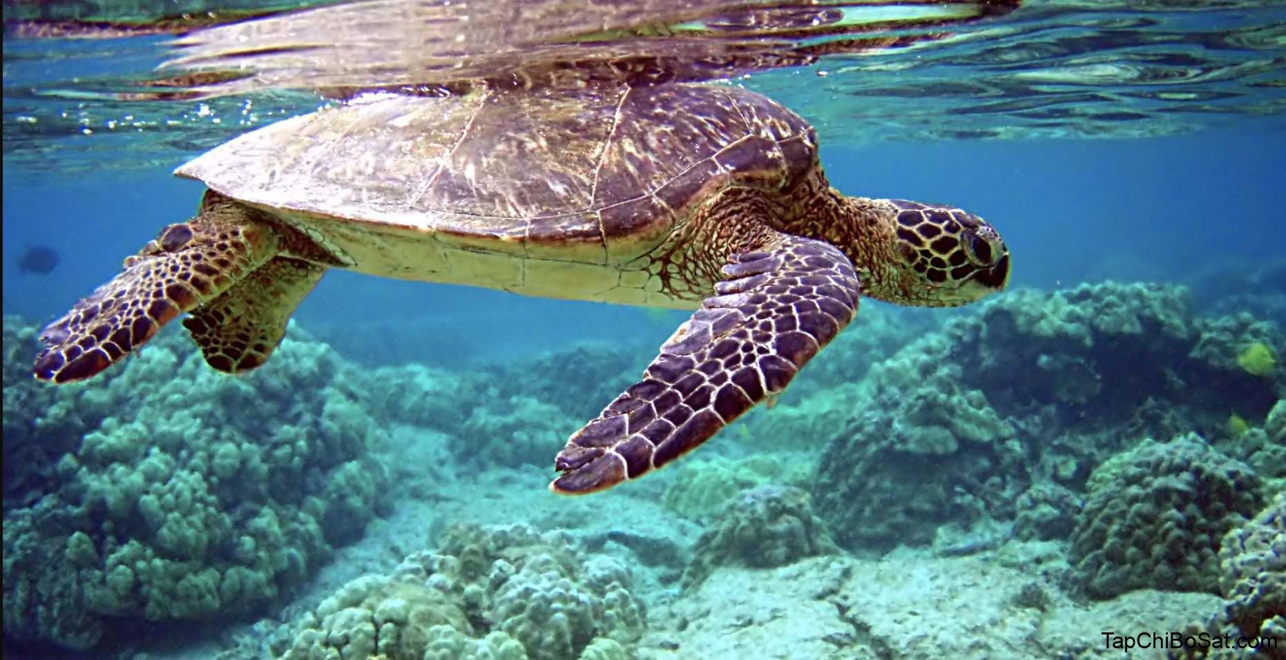 Photo of Rùa biển xanh – Green Sea Turtle