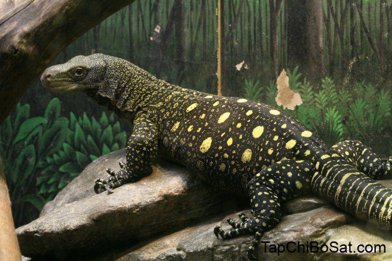 Photo of Kỳ Đà Cá Sấu- Crocodile Monitor