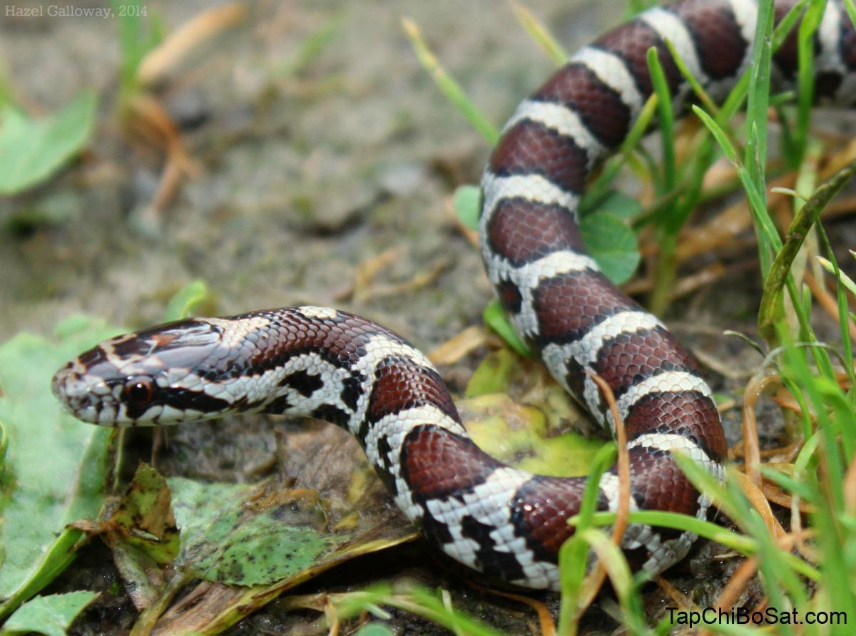 Eastern Milk Snake | Mountain Lake Biological Station, U.Va.