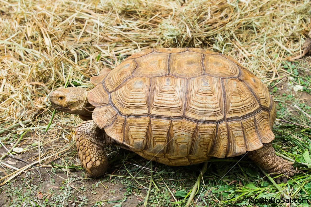 Photo of Rùa Núi Vàng – Elongated Tortoise