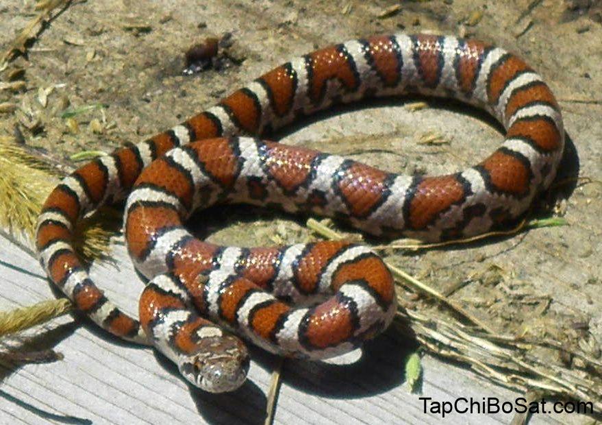 Eastern milk snake - Wikipedia