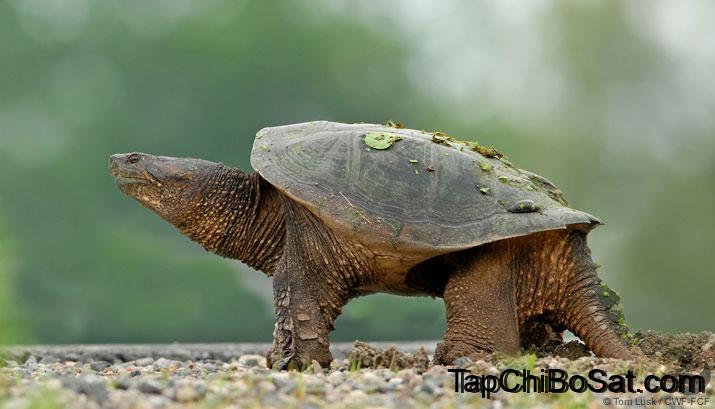 Photo of Rùa Common Snapping – Common Snapping Turtle