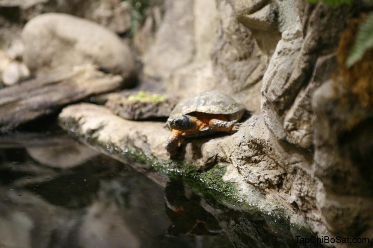 Photo of Rùa gỗ – Wood Turtle