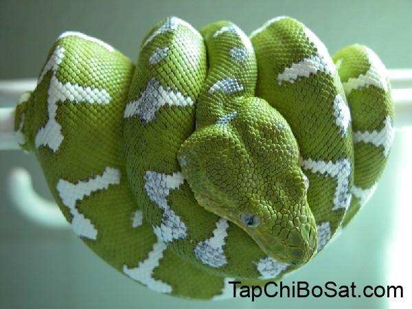Photo of Rắn cây Amazon – Amazon Tree Boa Snake