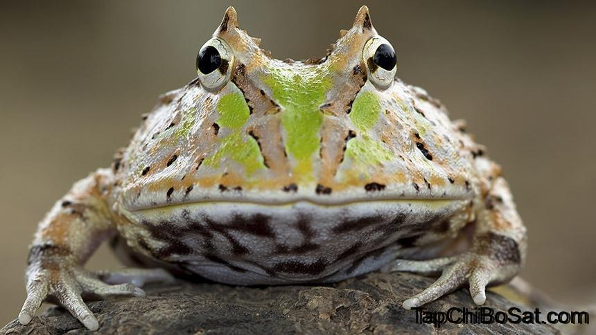 Photo of Ếch Pac-Man- Pac-Man Frog