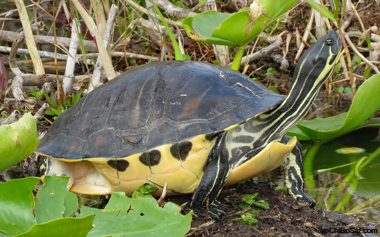 Photo of Rùa Hoa Florida – Florida Pond Cooter