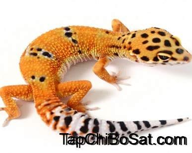 Photo of Cách nuôi leopard gecko