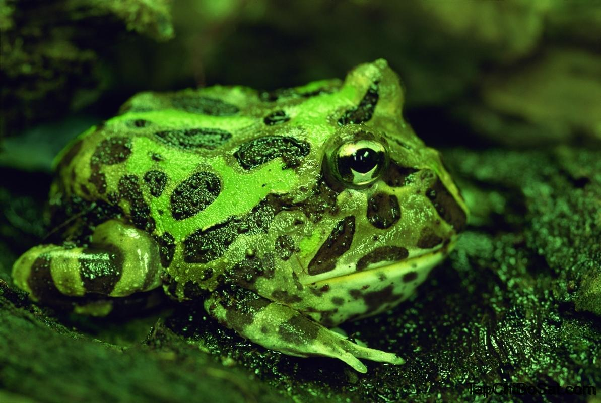 Photo of Ếch Sừng Chacoan – Chacoan Horned Frog