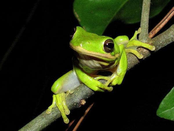 Photo of Ếch Cây Xanh – Green Treefrog