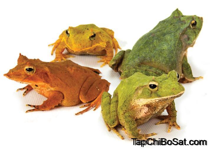 Photo of Ếch Sừng Quần Đảo Solomon – Solomon Island Horned Frog