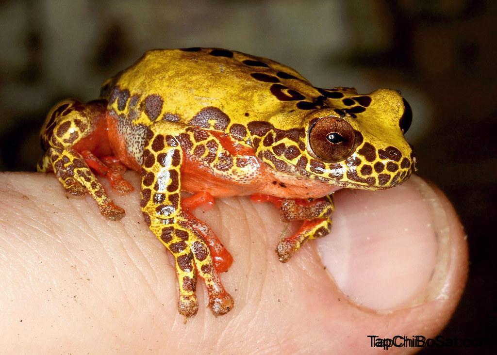 Photo of Ếch Thằng Hề – Clown Treefrog