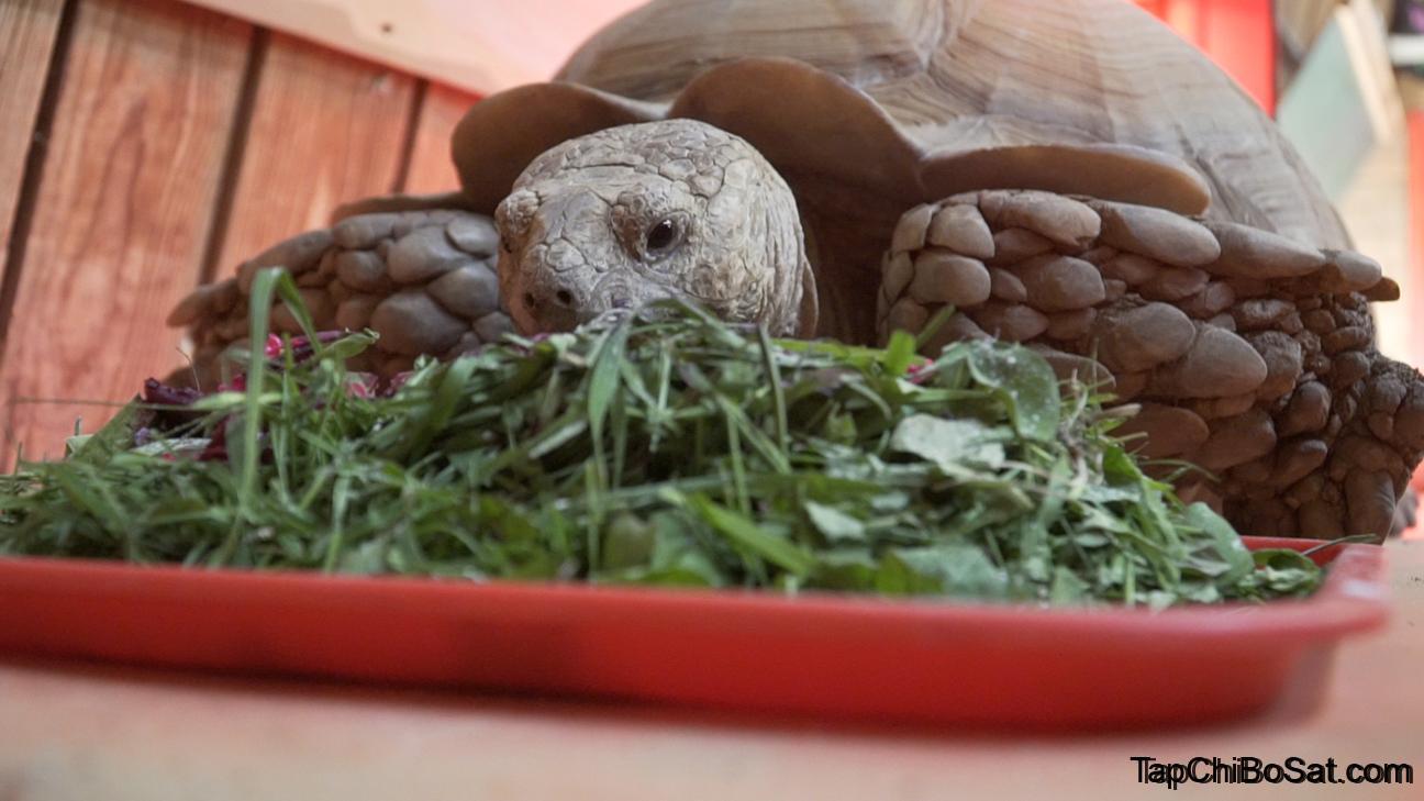 Photo of Cách nuôi Rùa Sulcata cho người mới