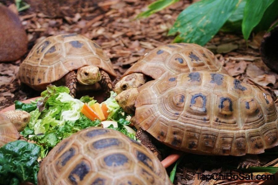 Photo of Cách nuôi Rùa Núi Vàng chi tiết nhất