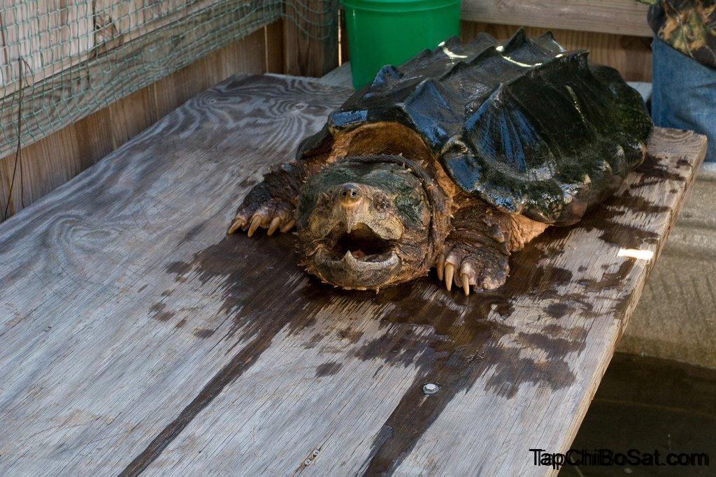 Photo of Chia sẻ cách nuôi Rùa Cá Sấu chi tiết nhất