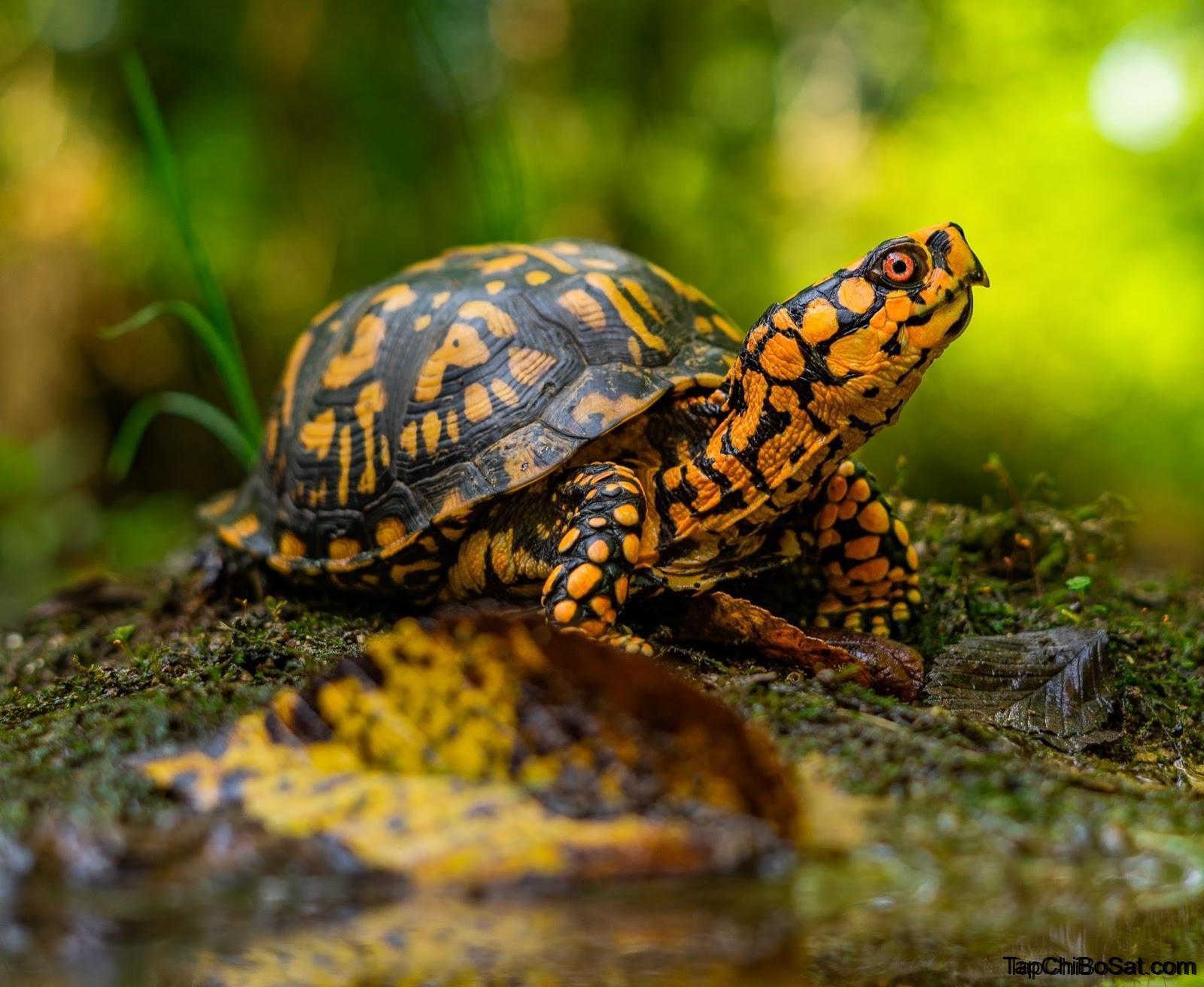 Photo of Rùa Hộp Miền Đông – Eastern Box Turtle