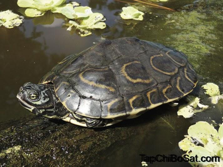 Photo of Rùa Bản Đồ – Map Turtle
