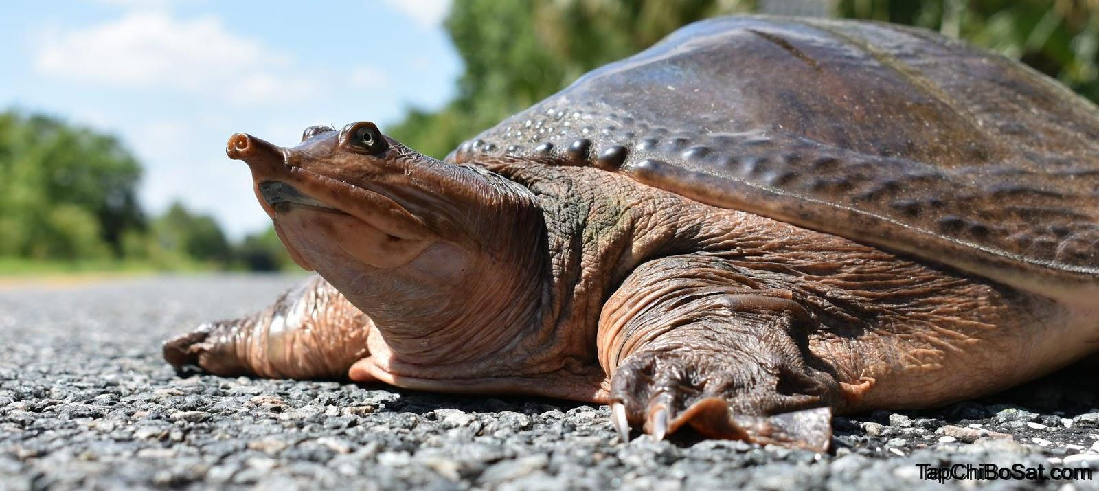 Photo of Rùa Vỏ Mềm Florida – Florida Softshell Turtle