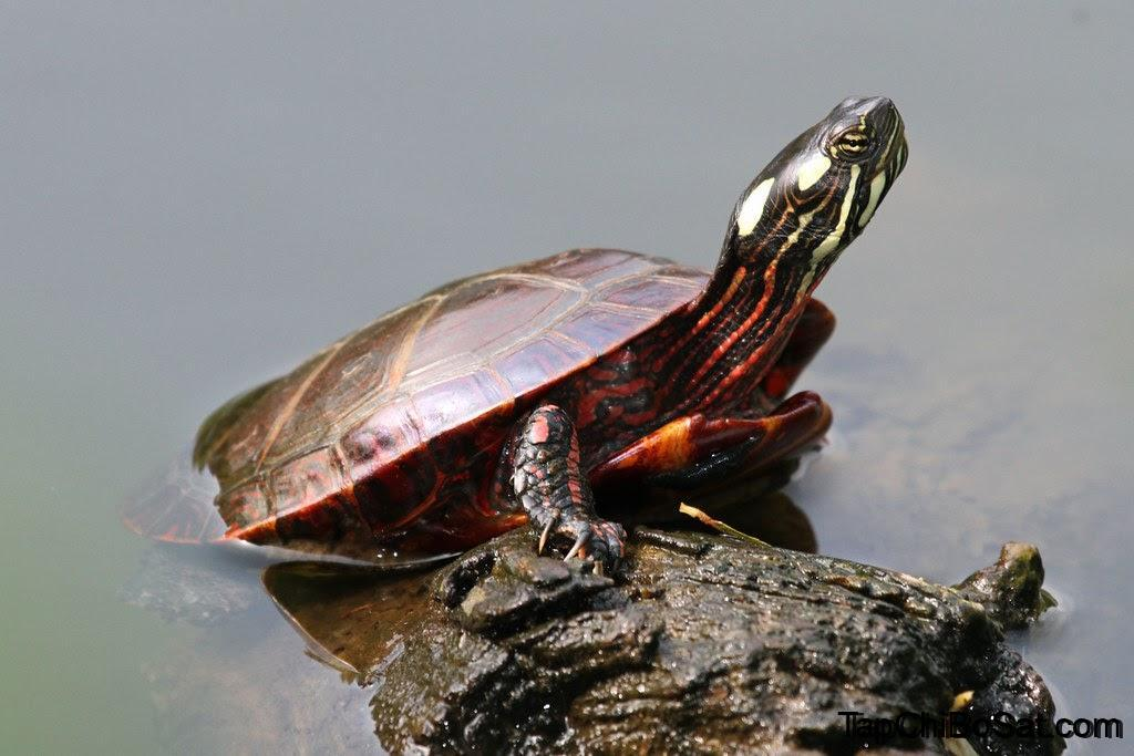 Photo of Rùa Sơn Miền Đông – Eastern Painted Turtle