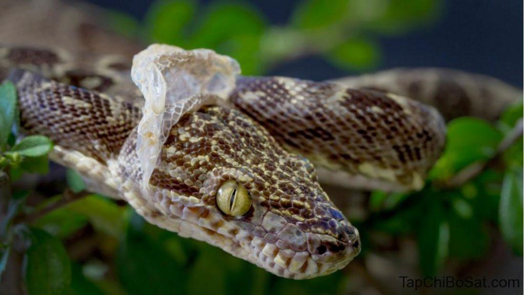 rắn lột da mắt