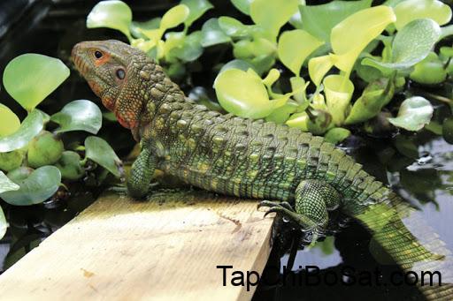 Photo of Thằn lằn Caiman- Caiman Lizard