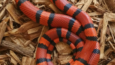 Photo of Rắn sữa Honduran – Honduran milk snakes
