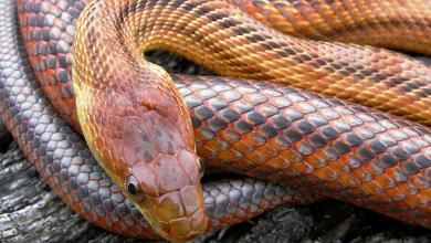 Photo of Rắn chuột Baird – Baird Rat Snake