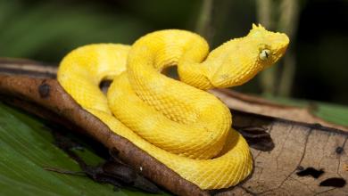 Photo of Rắn Eyelash Viper – Eyelash Viper