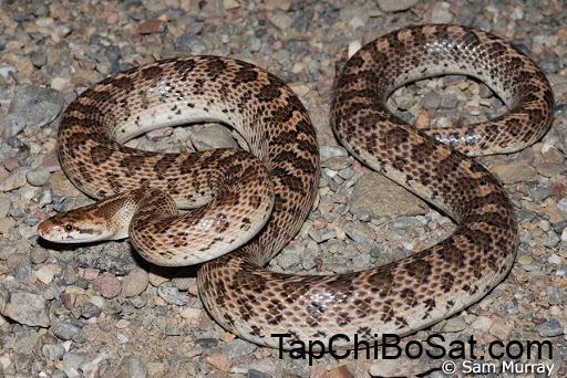 California Glossy Snake - Arizona elegans occidentalis
