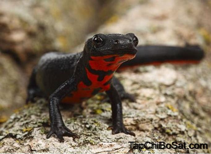 Photo of Chinese Fire-bellied Newt