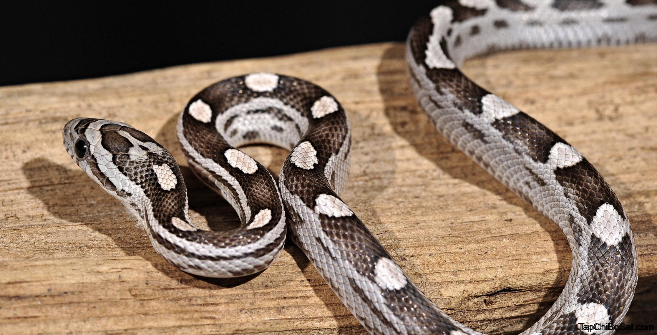 Photo of Cách nuôi rắn ngô – corn snake